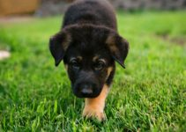 How Long Can A German Shepherd Puppy Hold It At Night?