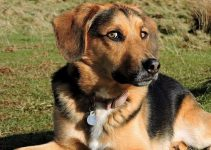 Beagle German Shepherd Mix Breed Information and Facts