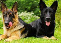 Different Colors of German Shepherds, What You Need to know your Puppy's Changing Coat