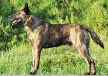 Rare Coat Color: Brindle German Shepherd Complete Guide