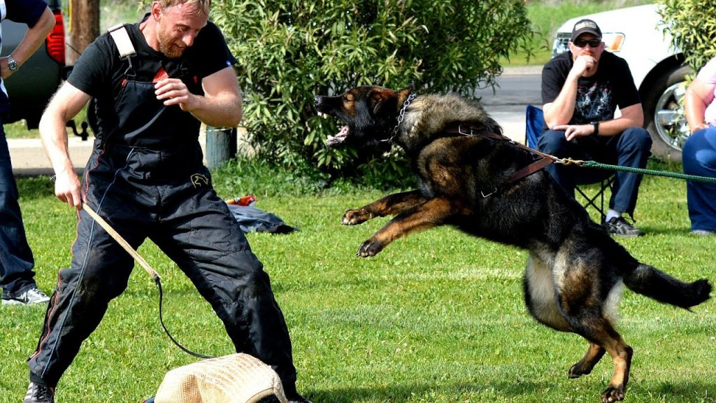Which Things Do You Need to Keep in Mind Training a DDR German Shepherd?