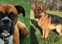 German Shepherd Boxer Mix Complete Guide on Personality