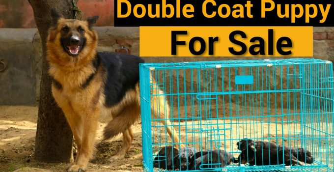 German Shepherd Dogs and Puppies Near Me