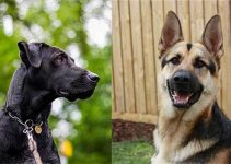 German Shepherd Great Dane Mix Complete Guide