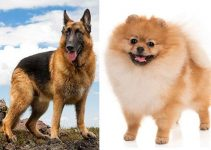 German Shepherd Pomeranian Mix: A Complete Overview