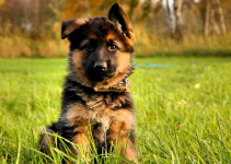 German Shepherd Puppy Ear Different Stages