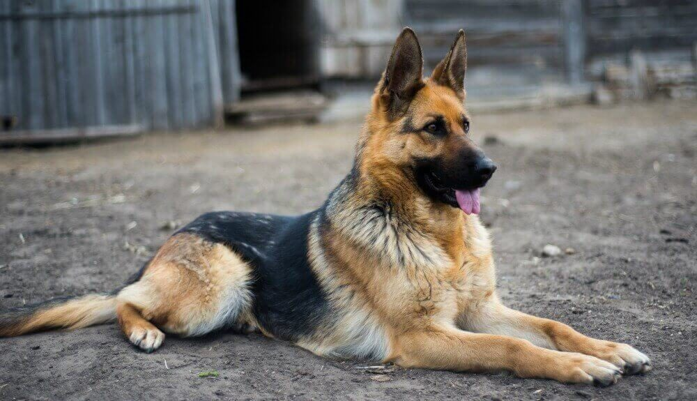 What You Should Know About German Shepherds?