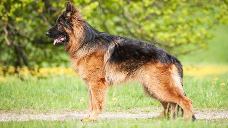 How To Reduce Your German Shepherd's Barking At Night