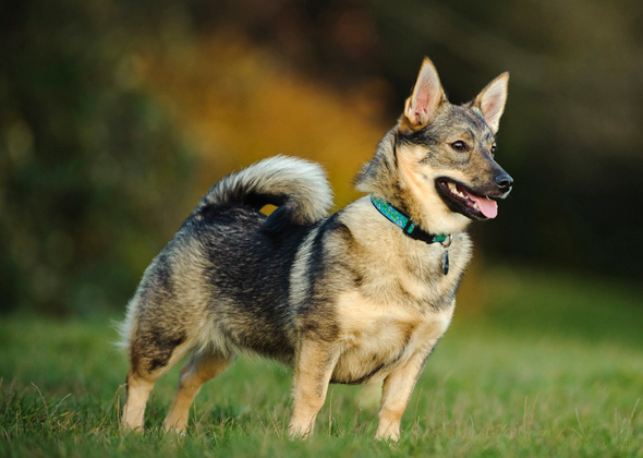 Is Curl Tail Bad for Your German Shepherd