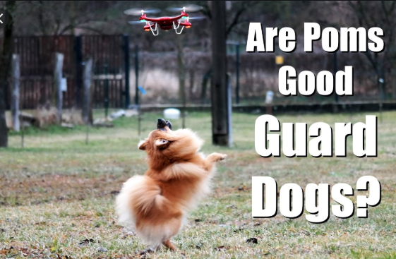 Is German Pomeranian Good Guard Dog Or Not?