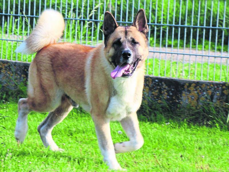 The Appearance of the German Shepherd Akita Mix
