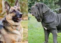 German Shepherd Mastiff Mix: Complete Info and Facts