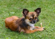 German Shepherd Chihuahua Mix: Size Weight and Tips for Training
