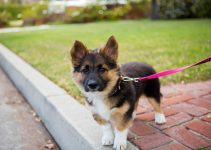 German Shepherd Corgi Mix The Perfect Family Companion?