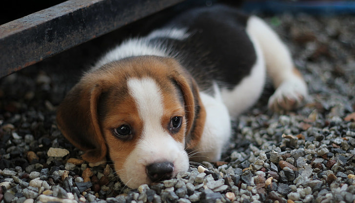 Beagle Shepherd Breeders & Puppy Prices