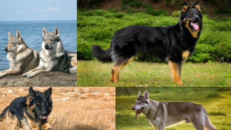How Many Types of German Shepherd Dogs Are There?