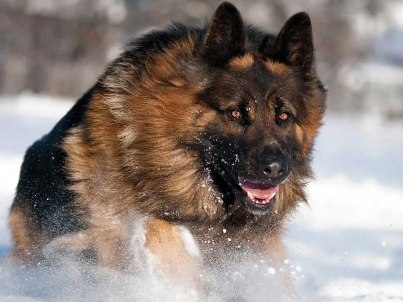 German Shepherds Are Known for Their Temperament