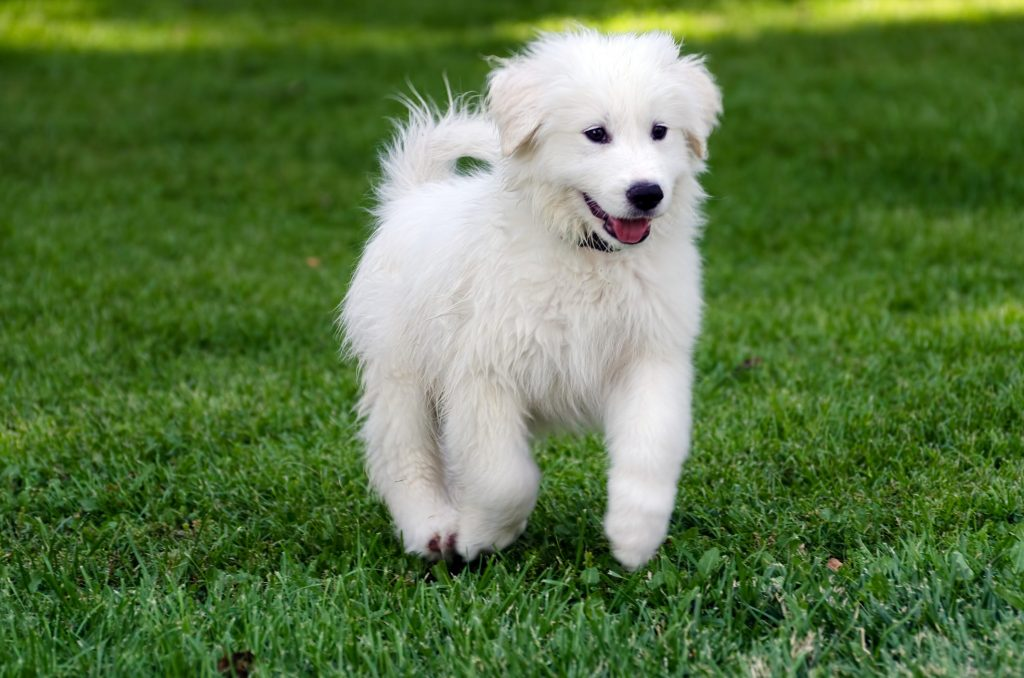 The Great Pyrenees Brief History
