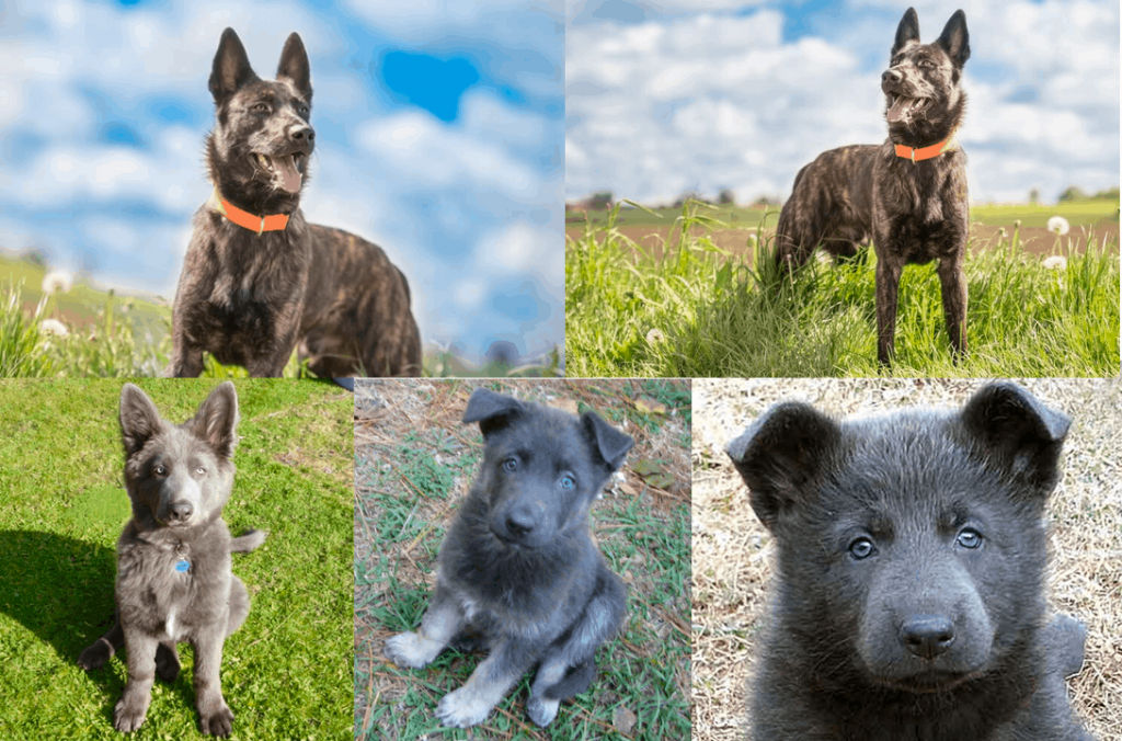 Physical Appearance of Blue German Shepherd