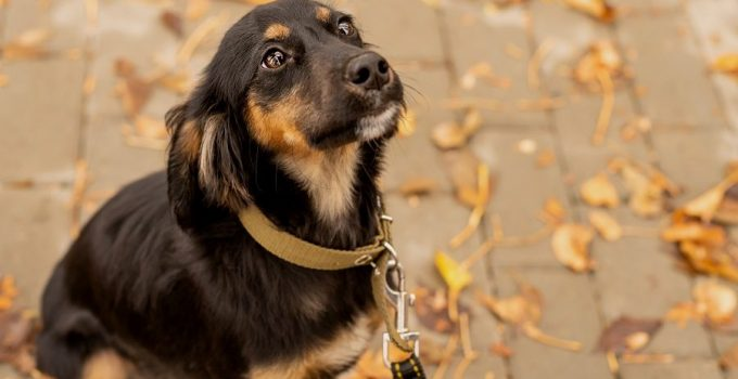 German Shepherd Dachshund Mix: Complete Guide