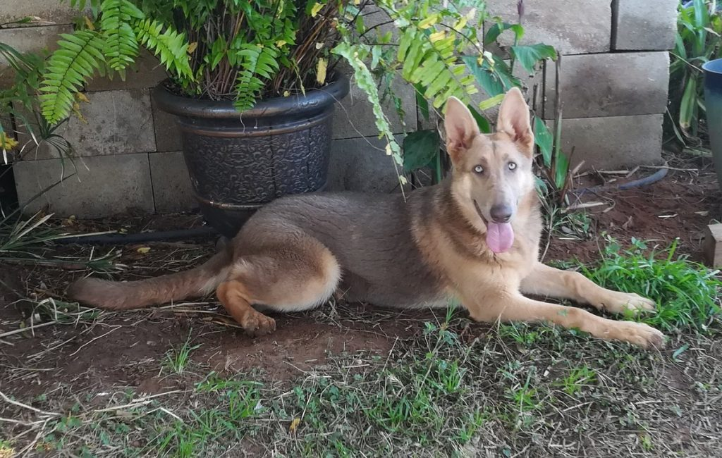 How to  Get an Isabella German Shepherd?