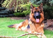 The German Shepherd Life Span And How Long They Live?