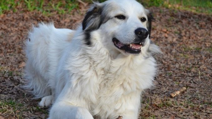 Great Pyrenees German Shepherd Mix