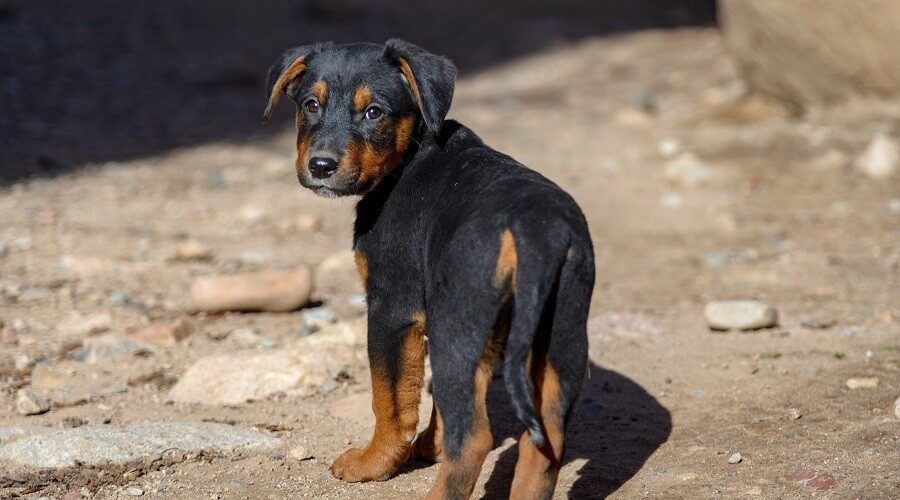 German Shepherd Rottweiler Mix Puppy