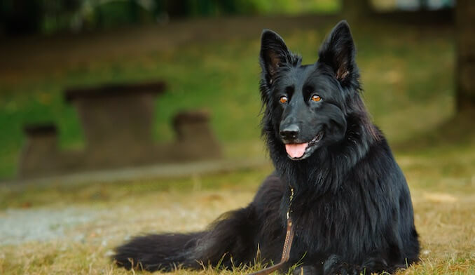 Are There Differences in Health Issues Between Male and Female German Shepherds?