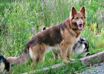 Isabella German Shepherd – What is the Name and DNA Guide