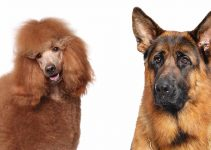 German Shepherd Poodle Mix: Complete Shepadoodle Guide
