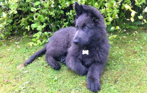 Where Do Blue German Shepherds Come From?