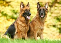 Male Vs Female German Shepherds (Which One You Choose)?