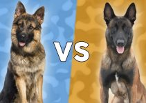 German Shepherd vs Belgian Malinois: Facts You Need to Know