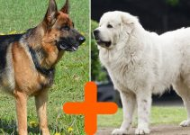 Great Pyrenees German Shepherd Mix: Size and Puppy