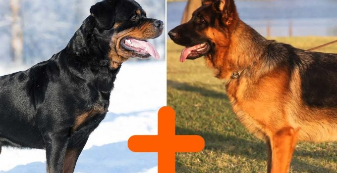 German Shepherd Rottweiler mix: Shepweiler Complete Guide