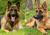 Long Haired German Shepherd vs. Short Haired: Complete Guide