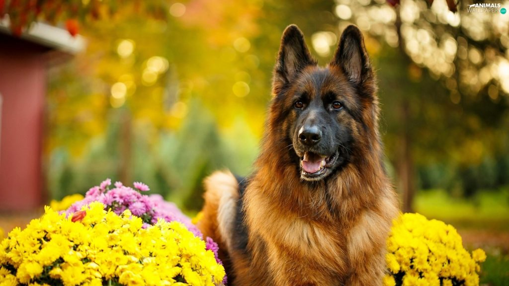 What Does Short-Haired and Long Haired German Shepherds Have In Common?