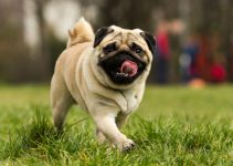 How Long Do Pugs Live: How To Prolong Their Life