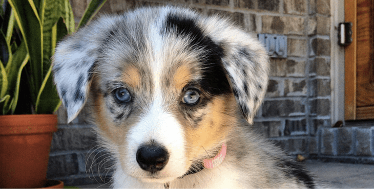 What does Chihuahua Australian Shepherd mix Look Like?
