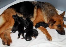 How Many Puppies Can a German Shepherd Have?