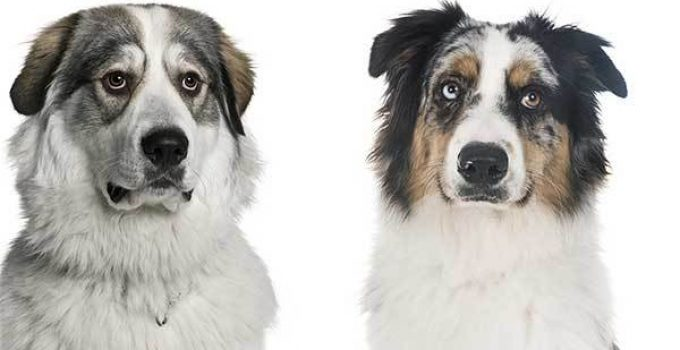 Great Pyrenees Australian Shepherd Mix
