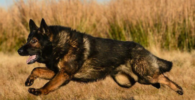 How Fast Can a German Shepherd Run?