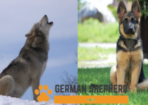 German Shepherd vs Wolf