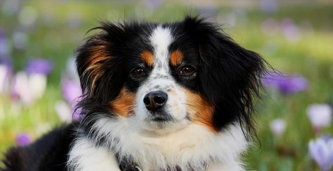 Do Australian Shepherds Shed?