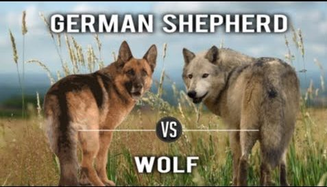 Wolf compared to German Shepherd