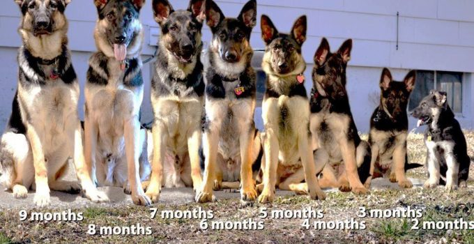 At What Age Do German Shepherds Stop Growing?