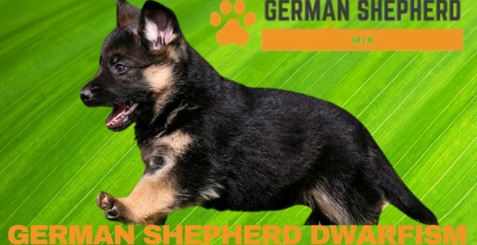 German Shepherd Dwarfism Complete Guide