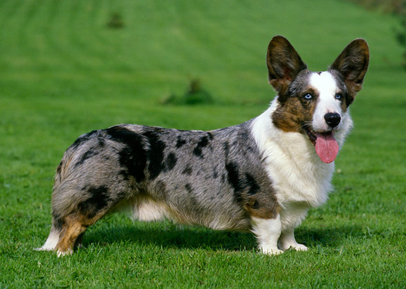 What is Dwarfism in Dogs?