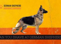 Can You Shave A German Shepherd? Good Idea or Not